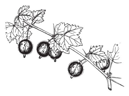 Picture depicting a shrub bearing gooseberries. Gooseberry is the acid usually prickly fruit of any of several shrubs & can be partially attributed to its high vitamin C content, vintage line drawing or engraving illustration.