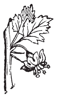 Picture depicting the leaves and flowers of the Gooseberry plant, vintage line drawing or engraving illustration.