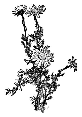 Chamomile is one of the most popular wild medicinal plants. It is known as German Chamomile, vintage line drawing or engraving illustration.