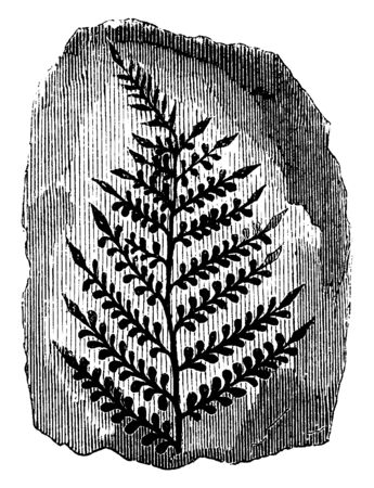 A picture showing the fossilized coal ferns of ancient tree which are often association with coal seams, vintage line drawing or engraving illustration.