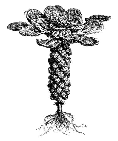 This vegetable is very low in saturated fat and cholesterol and a good source of magnesium and phosphorus, vintage line drawing or engraving illustration. Archivio Fotografico - 132900053