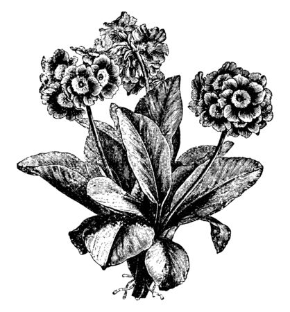 A picture of Primula Auricula flower plant. It is an evergreen perennial plant. Its plant is tall and wide, the leaves are obviate, vintage line drawing or engraving illustration. Ilustração