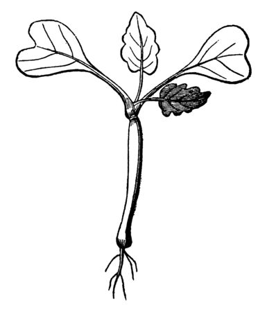 This is Radish sprout which is converts into plant. 2 Leaves heart-shaped and 2 is lobe-leaf & roots are present at the bottom of the plant, vintage line drawing or engraving illustration.