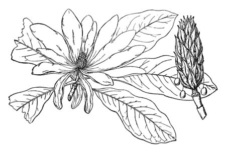 In this frame, umbrella has Mangolia Tree and it is called Magnolia Tripit. Magnolia Triptila has a tree bud and a flower that is full, vintage line drawing or engraving illustration.