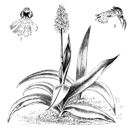 Orchis Purpurea, the lady orchid is an herbaceous plant belonging to the genus Orchis of the family, vintage line drawing or engraving illustration.