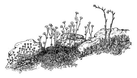 A picture of Garden Saxifragas plant. It belongs to Saxifragaceae family. Leaves grow close to the ground. Single flower clusters rised above the main plant body and have five petals and sepals, vintage line drawing or engraving illustration. Çizim