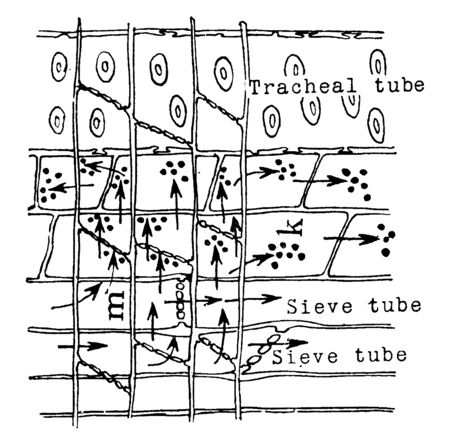 A diagram to show the foods of the leaves that descend through the sieve tubes and that are stored in the cells of the medullary ray and the parenchyma of the xylem, vintage line drawing or engraving illustration.