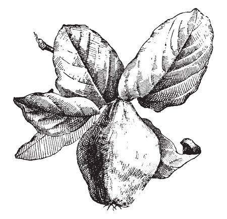 A fruit similar in appearance to a pear, and bright golden-yellow when mature, vintage line drawing or engraving illustration.