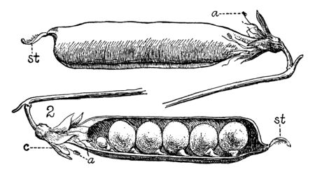 This is the Pea Legumes. Picture shows the front and back side of the pea bean.