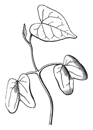 This scene is showing seedling of Morning Glory. They love sunshine while the seedlings are young, vintage line drawing or engraving illustration.