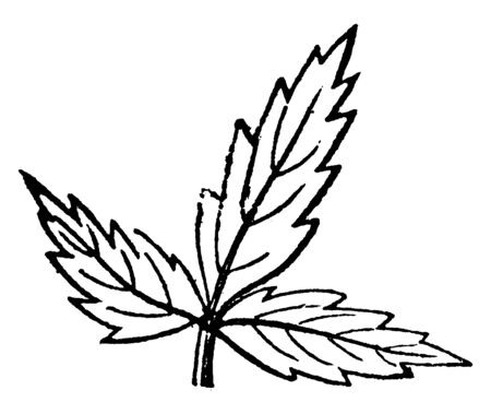 This is a picture of ternate leaf. This leaf can arranged in threes, especially having three leaflets, vintage line drawing or engraving illustration.