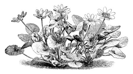 A picture is showing Ranunculus Ficaria, also known as Ficaria verna. This is a hairless perennial flowering plant and it belongs to buttercup family Ranunculaceae. Flowers are yellow, vintage line drawing or engraving illustration. Illustration