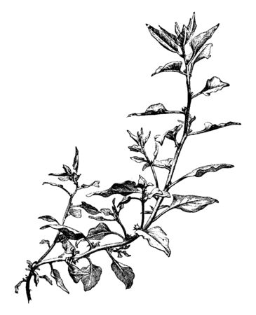 This is a small branch of New Zealand Spinach, also known as Cooks cabbage or Tetragon, New Zealand Spinach is a leafy plant, vintage line drawing or engraving illustration. 일러스트