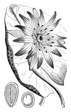 This is a flower of an Egyptian Blue Lily and also known as blue lotus, vintage line drawing or engraving illustration.