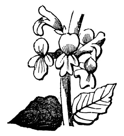 An illustration of flowers part - leaf & petals of Narcissus flowering plant. Narcissus is found primarily to Germany (Europe), vintage line drawing or engraving illustration.