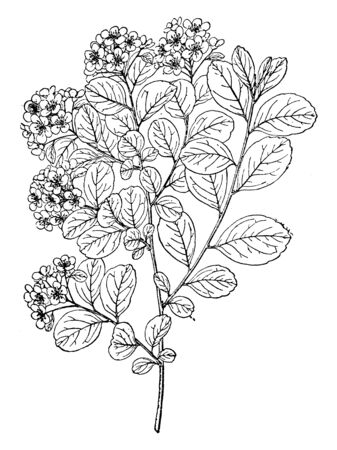 A picture shows branch of Nipponica Spiraea Plant. Leaves are small, pink, flat and having hairs on it and there is bunch of flowers at its apex. It is belongs to genus Spiraea, vintage line drawing or engraving illustration. Ilustrace