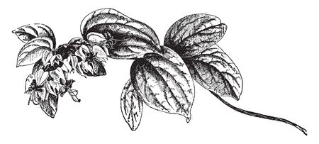 Branch of clerodendron thomsonae. This is a twining, evergreen shrub. Its leaves are dark green colored, It is grown as an ornamental plant for its decorative two-colored flowers, vintage line drawing or engraving illustration.