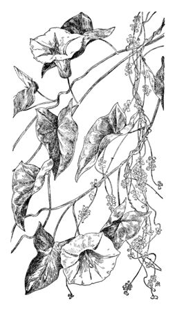 A picture, thats showing of Bindweed and Dodder vein. Funnel shaped flower and heart shaped leaves attach to branch and plant stems generally winding, vintage line drawing or engraving illustration.