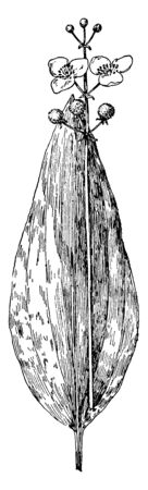 This picture shows Delta Arrowhead Plant. The plant reproduces by means of stolons as well as seeds. Some leaves are totally submerged, others emergent and it has broad-leaf arrowhead, vintage line drawing or engraving illustration. Ilustrace