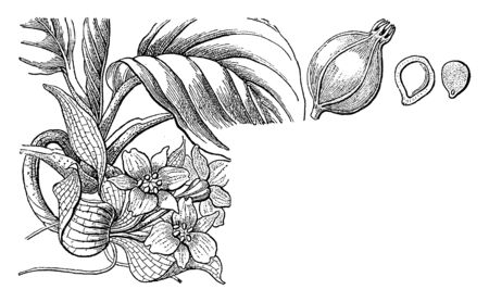 Tacca integrifolia, the white bat flower, is a species of flowering plant in the yam family is an herb growing from a thick, cylindrical rhizome. The leaf blades are borne on long stems, vintage line drawing or engraving illustration.