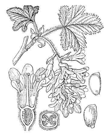 This picture shows part of plant. These are leaves, flower, stem, branch and inner parts of flower. It shows half ovary. Inside the ovary there are seeds, vintage line drawing or engraving illustration.