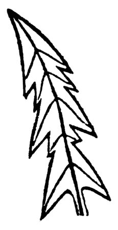 This is an image of Lion Toothed leaf. The Size of this Leaf is Similar to Arrow, vintage line drawing or engraving illustration.
