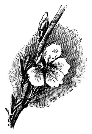 The almond leaves 3-4 inches long. Flower white and pink, with five petals. Flower growing on branch, pollen will eventually ripen in almond fruits, vintage line drawing or engraving illustration. Illustration