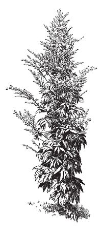 Artemisia Lactiflora is perennial plant. It is grows 50-120 cm tall, vintage line drawing or engraving illustration.  イラスト・ベクター素材