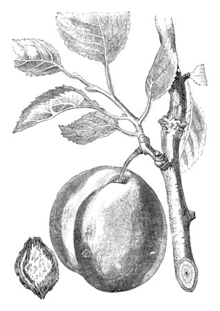 A picture showing branch of Jefferson Plum tree with its fruit, vintage line drawing or engraving illustration.