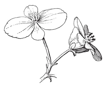Two flowers in this picture, flowers have four petals with one row of petals. Both flowers are grown on a single branch, vintage line drawing or engraving illustration. Illustration