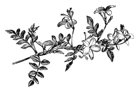The picture is of a flowering spray of Jasminum Grandiflorum, flowers are reddish underneath & white and bloom in starting of summer to the beginning of winter, vintage line drawing or engraving illustration.