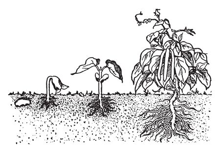 In that image they are show you growth of bean plant, vintage line drawing or engraving illustration. 向量圖像