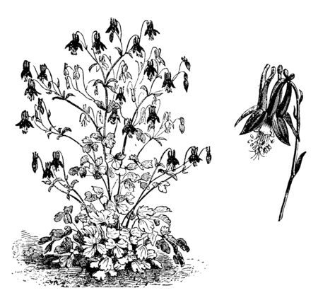 A picture shows Aquilegia Canadensis Habit and Flower. It is an herbaceous perennial native to woodland and rocky slopes in eastern North America, prized for its red and yellow flowers, vintage line drawing or engraving illustration.