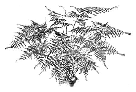 A picture showing Asparagus Plumosus Nanus. The edible part of asparagus plumosus nanus increases on the tips of the branchlets. This is a slightly thorny main stems, vintage line drawing or engraving illustration.