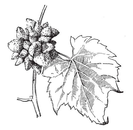 A picture is showing Gall. This is a Gall on the stem of grape. Gall is an abnormal outgrowth of plant. It looks like a seed pods, vintage line drawing or engraving illustration. Stock fotó - 132899401