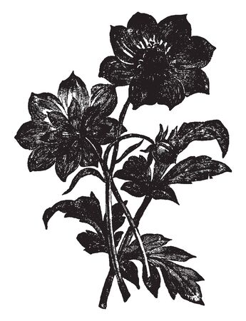 A picture is showing Dahlia Merckii. It belongs to Asteracea family. This is a small pale lavender flower. This plant grows two to three feet tall, vintage line drawing or engraving illustration. Ilustrace