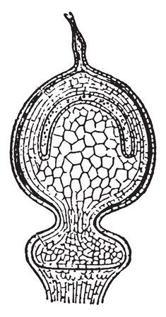The given image of a Longitudinal section of the sporognium borne. Sphagnum acutifolium is a species of peat moss and it is native to Canada, vintage line drawing or engraving illustration.