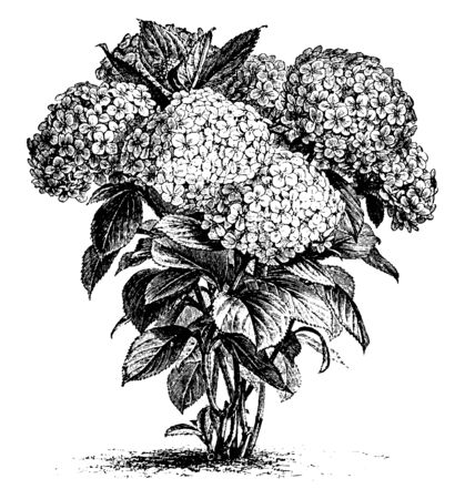 It is a picture of Hydrangea Hortensis flowers which are grown in April to September two and three feet tall mostly found in China and Japan also known as French Hydrangea, vintage line drawing or engraving illustration. Stock Illustratie