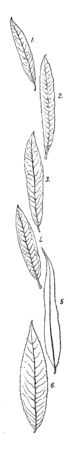 A picture showing different types of Willow leaves, vintage line drawing or engraving illustration.