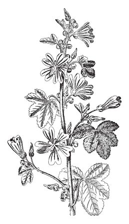 Common mallow can be more usefully describe as some of our gloriously abundant plant helpers. Number of mallow species have long been used as a food and medicine, wherever they in Middle East & Asia, vintage line drawing or engraving illustration. Ilustração