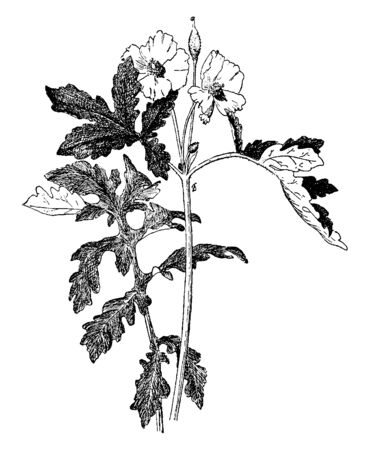 A picture shows Stylophorum Diphyllum. It is a perennial herb. It is native to damp woodland in eastern North America. These plants have yellow flowers, vintage line drawing or engraving illustration.