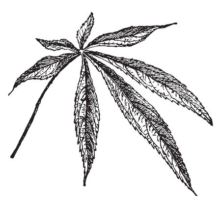 Five to seven leaf are compound on one the point. This leaf is serrate type, vintage line drawing or engraving illustration.