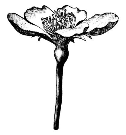 A picture of Bartlett pear flower. The flowers color is mostly white with five petals. Flower stalk is long and narrow, vintage line drawing or engraving illustration.