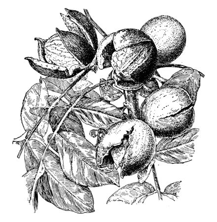 In this picture are a walnut species black walnut. Which is round and butternuts are more oval-oblong shaped, vintage line drawing or engraving illustration.