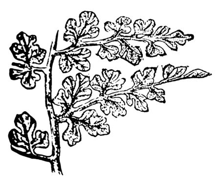 Seed ferns were a now extinct group of plants that reproduced by seeds, vintage line drawing or engraving illustration.