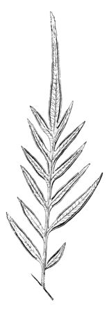 This plant commonly found in Brazil. They leaves are long and thin, straw-colored leaves. This plant leaves are stalkless, vintage line drawing or engraving illustration.