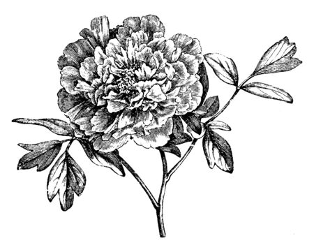 It is a Mountain Peony flower, this plant is very much famous if temperate regions, vintage line drawing or engraving illustration.