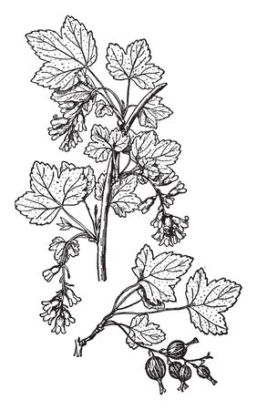 This image of a native black currant. This fruit is sweet, it is a rounded shaped. The leaves are small and thin. Stams are lang thin and rounded, vintage line drawing or engraving illustration. 向量圖像