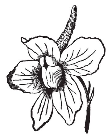 This is the flower of Larkspur plant. Flowers are irregularly shaped and bloom in a loose, vertical grouping along the upper end of the plants main stalk, vintage line drawing or engraving illustration.