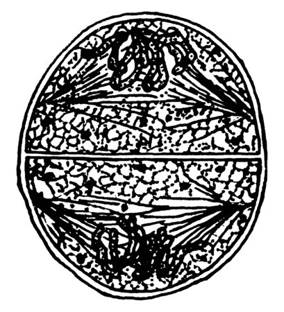 A picture showing the thirteenth stage of Division of Grandmother Cell, vintage line drawing or engraving illustration.